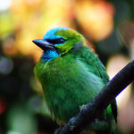 golden-naped-barbet